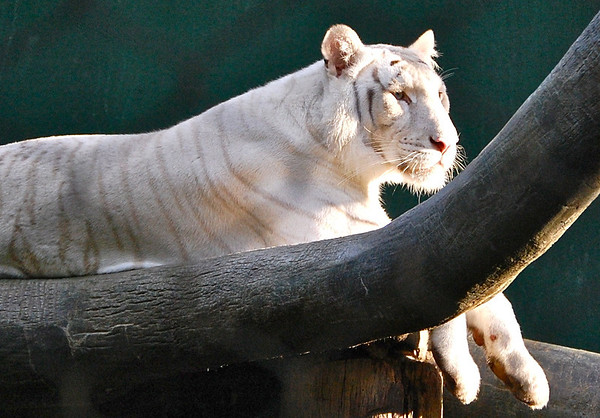 White tiger in sunshine